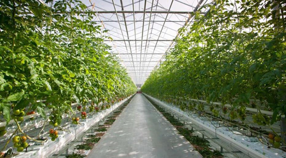Greenhous tomatos