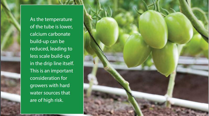 Greenhouse tomato's