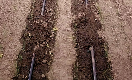 Onion Crop Production