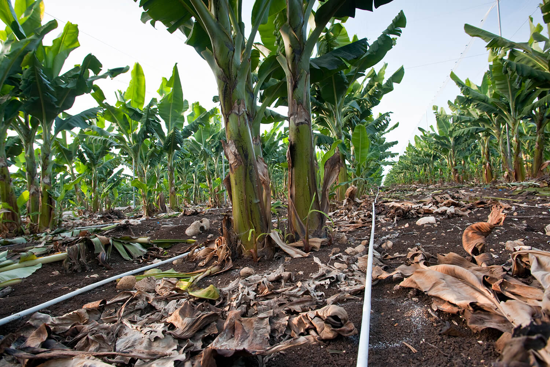 Banana drip irrigation